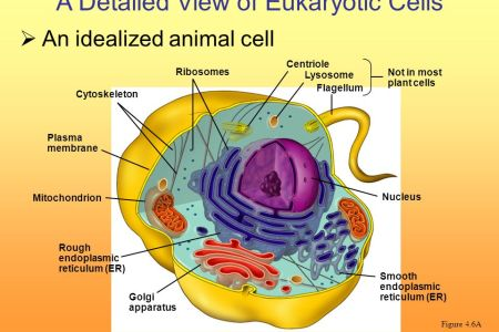 Detailed diagram of animal cell full hd pictures 4k ultra full a diagram of a large cell the outside of the cell is a thin line essential differences between animal and plant cells differences between animal cells ccuart Choice Image