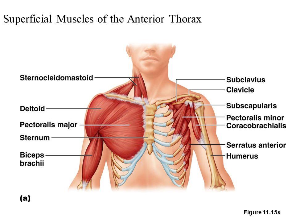 Superficial Anterior Elbow Anatomy
