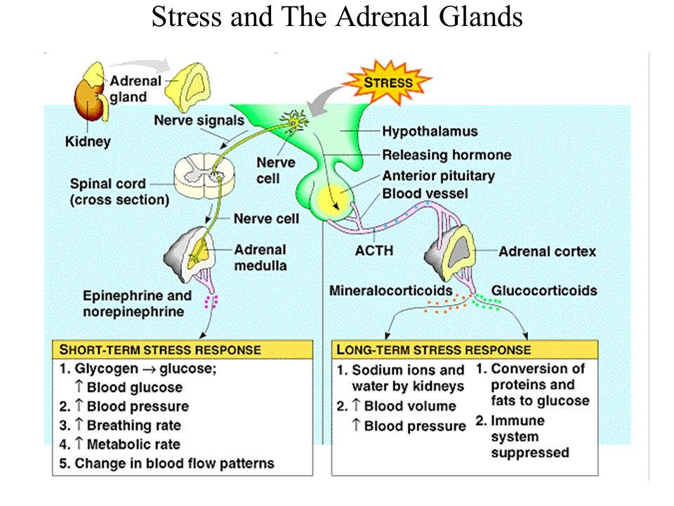 Image result for adrenal glands actions