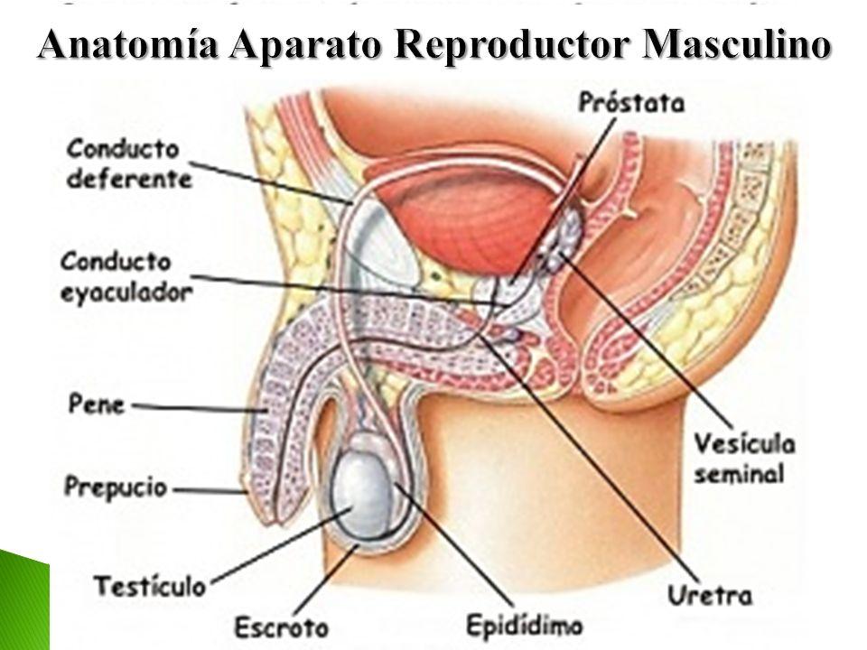 Hermosa La Anatomía Del Aparato Reproductor Femenino Imagen ...