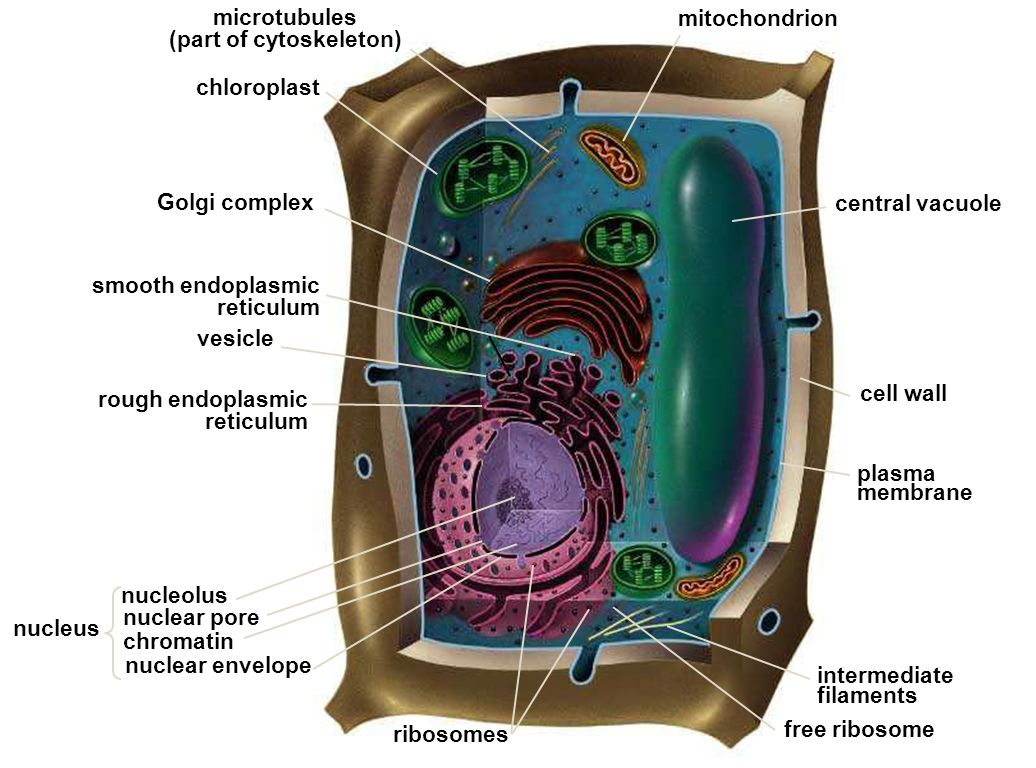 Organelos Celulares Use This Presentation In Conjunction With The Cell Organelle Note Taking