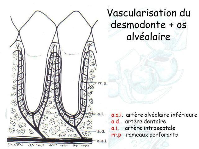 """Résultat de recherche d'images pour """"desmodonte dentaire"""""""