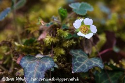 Wild strawberry, moss and ivy