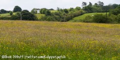 Buttercups, ladies smock, flowering grasses...