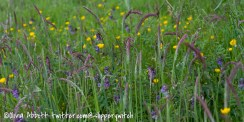 Purple vetch and buttercups