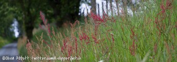 Red-topped grasses