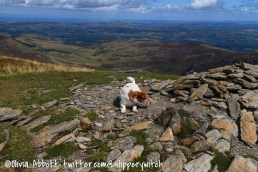 Bert on the summit of Pen Llithrig y Wrach – convinced there's a rabbit in there