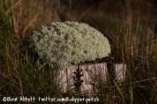 A woolly cap of lichen