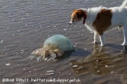 Do dead jellyfish sting?