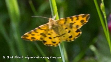 yellow moth (1 of 1)