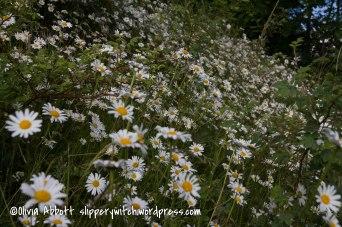 20160618-evening walk buttercups 038