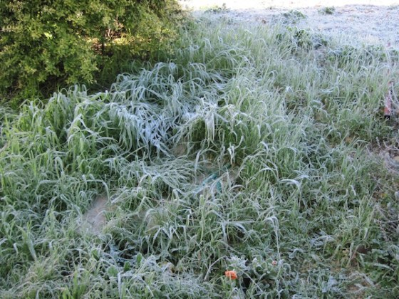Frost covers grasses on my slope, making them magical.