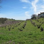 Dormant vineyard in Templeton after winter rains green up the ground