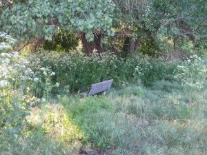 Park bench surrounded by weeds, especially poison hemlock.