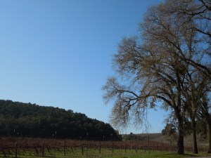 Oak View Vineyard on December 17, 2011, after First Frosts