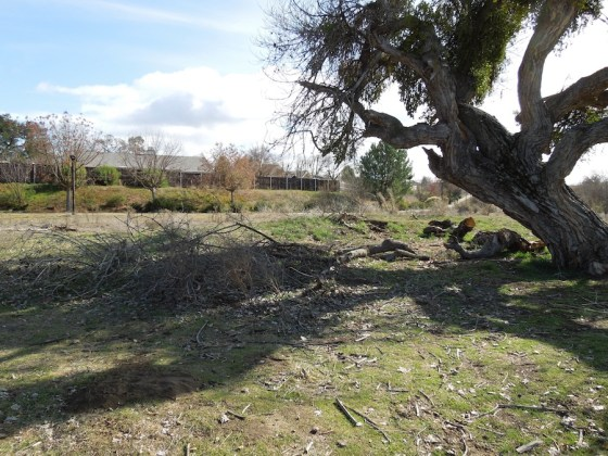 Cottonwood Tree with Broken Off Branch, Larry Moore Park, Paso Robles