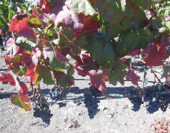Grapes Vines Still Waiting for Harvest at Veris Vineyard on October 20