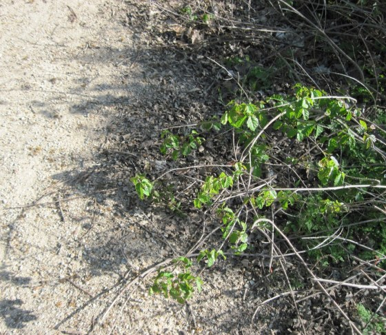 Poison Oak Along Salinas River Path in April