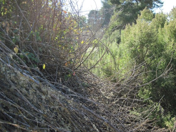 Almost Dormant Clump of Poison Oak in October, 2010