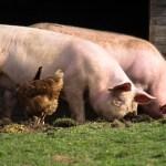 豚肉価格の上昇が少なくとも2020年まで続く可能性