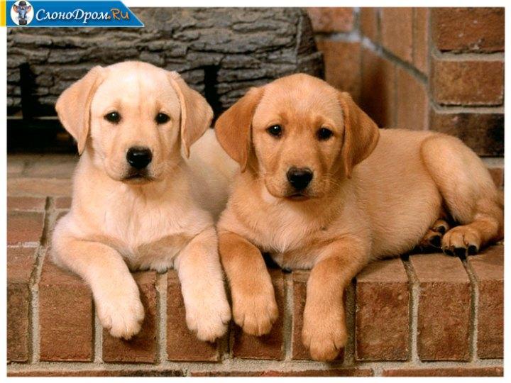Бизнес-идея - разведение собак