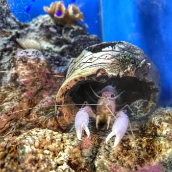 Malaysia 2018 Aquaria KLCC pink lobster
