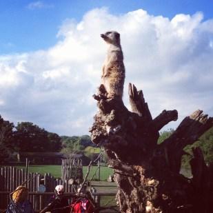Meerkat Marwell Zoo