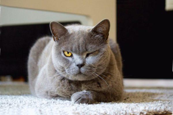 Как Выглядит Лишай у Кошек. Признаки и Лечение Лишая + 65 ФОТО