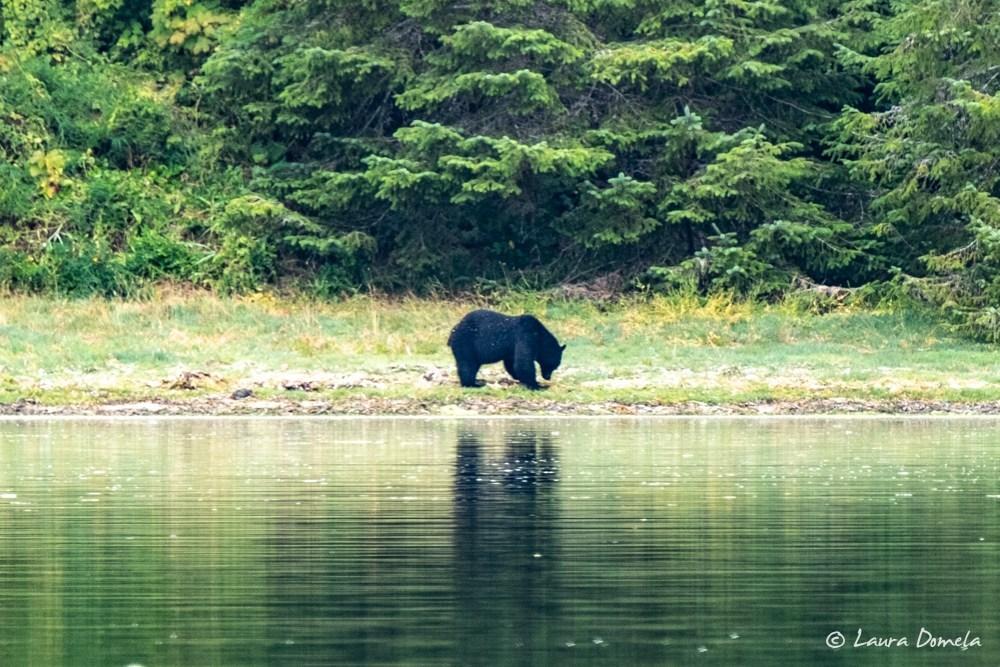 Black bear onshore in Nuchatlitz