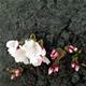 隅田川公園 --開花宣言--