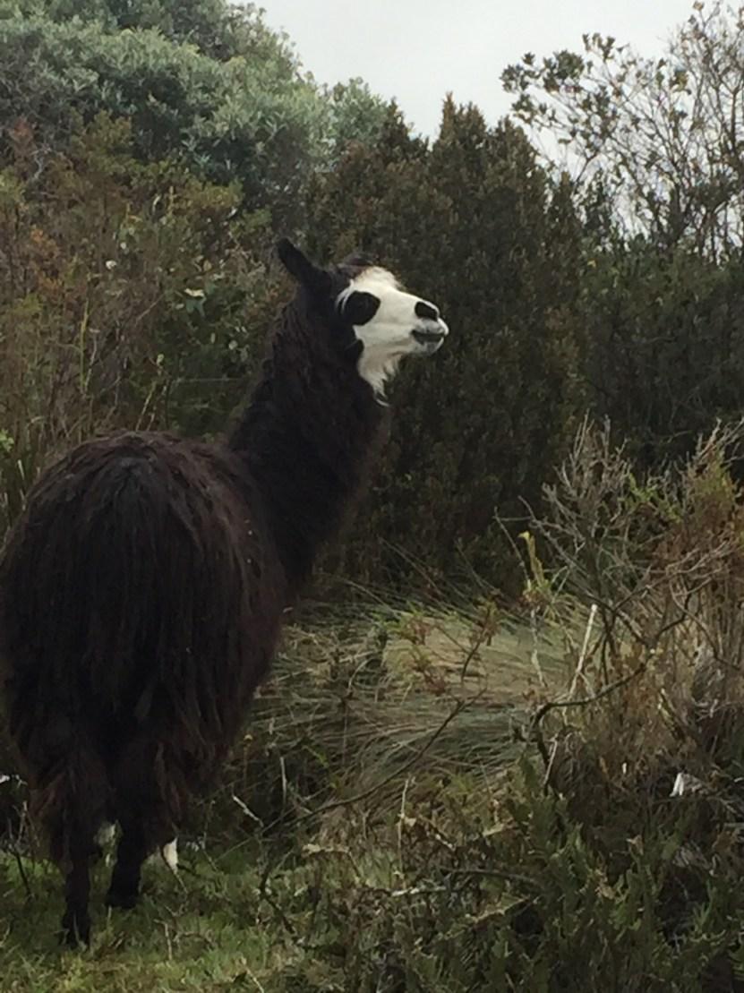 llama spotting our first.jpg