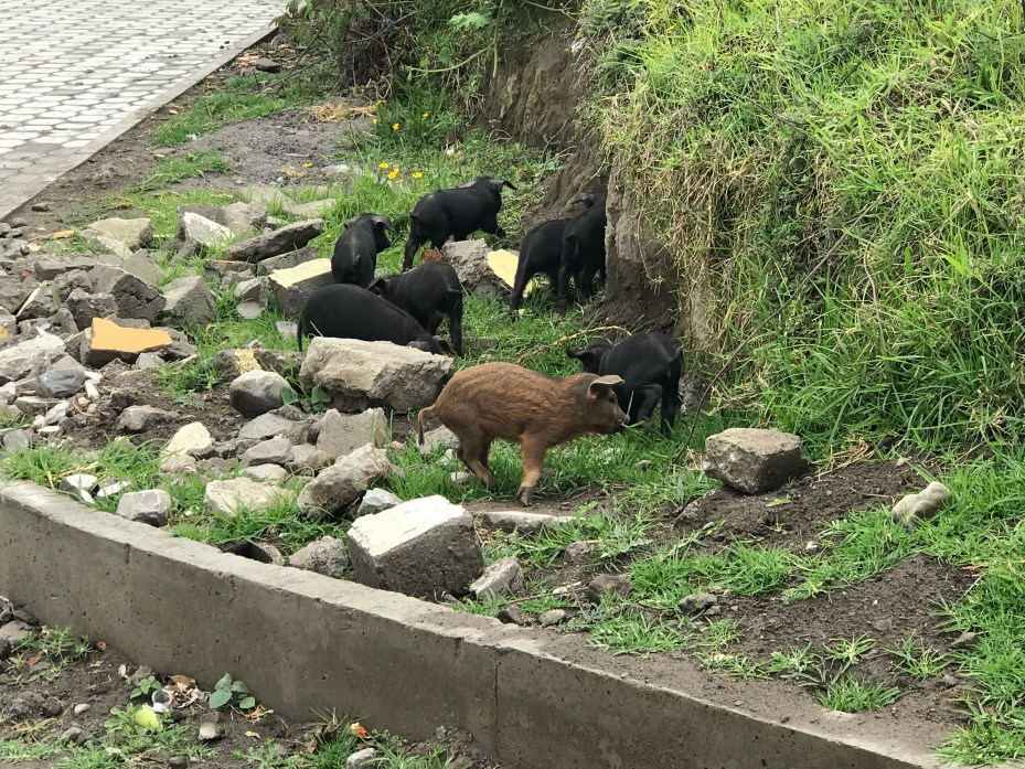 pigs on the roadside.JPG