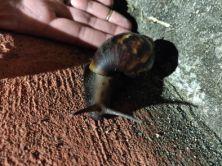 snail huge