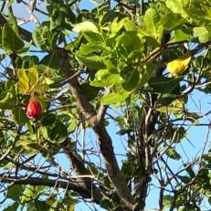 cashew fruit1