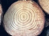 pine tree rings