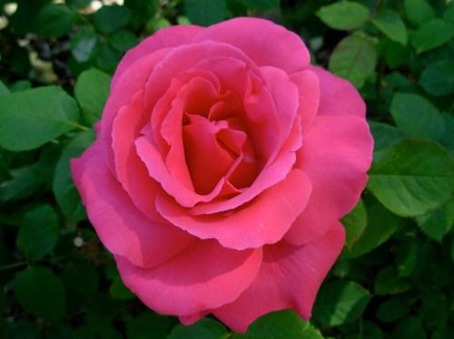 rosebrightpink