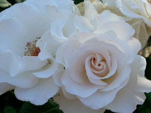 rosewhite