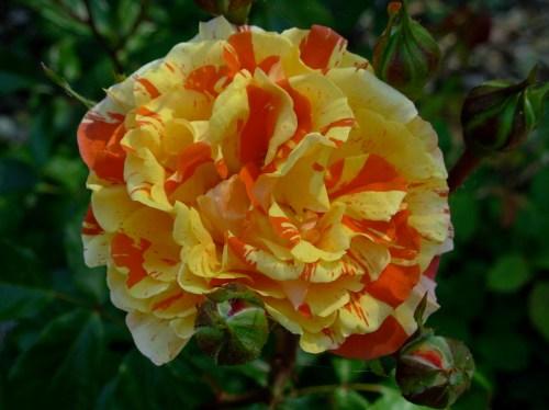 roseyellowred