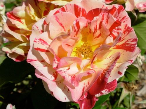 roseyellowredopen