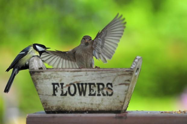 참새가 다가오자 짜증을 내는 박새 (출처: peakdistrictonline.co.uk) http://www.peakdistrictonline.co.uk/peak-district-birds-the-great-tit-c101041.html