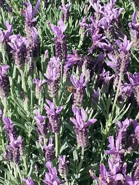 Lavender, Flowers & Honeybees