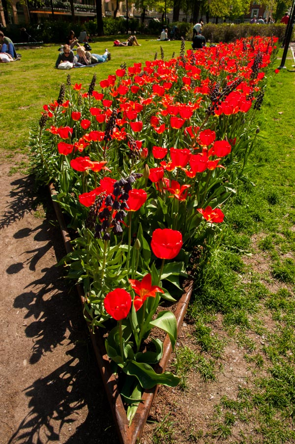 Tulips in Stockholm - Photography by Lola Akinmade Åkerström
