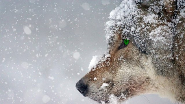 Cuento animado sobre dos lobos, contado por Sharon Salzberg