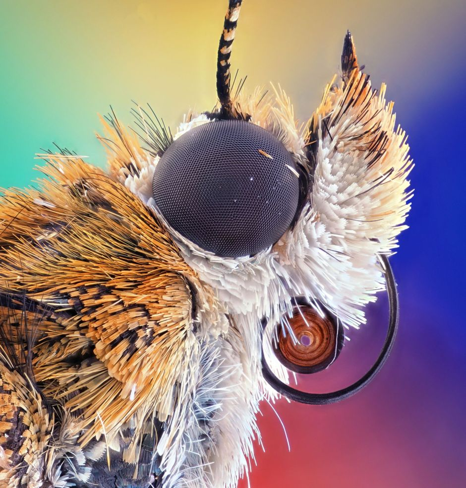 Bogong moth.Microscopic images reveal the hidden beauty of the invisible world, tech news, science news, news