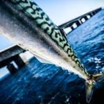 Tips til Storebælt's makreller