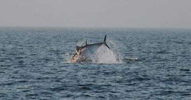 Større antal blåfinnet tun nu set i Øresund !