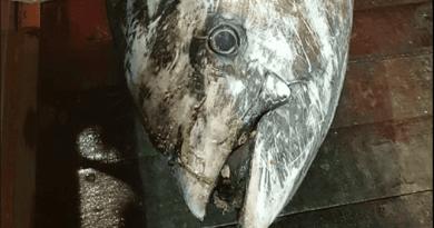 Gulfinnet tun fanget af dansk fisker i Nordsøen