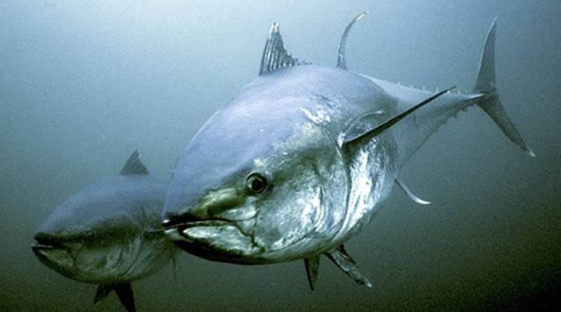 Norske lystfiskere får 6-dobblet kvoten på blåfinnet tun