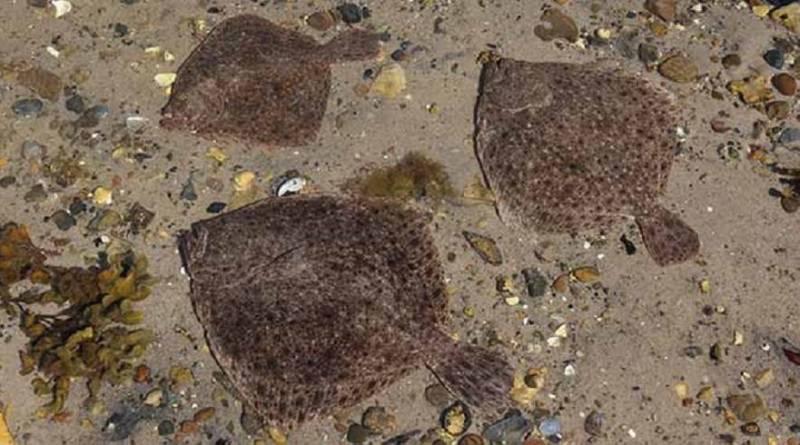 Masser af æg fra bornholmske pighvarer