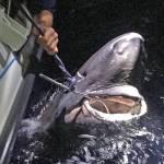 Nu er det officielt! Sveriges længste fisk